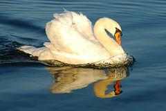 Swan (Rafal Bergman) Tags: lake swan mazury lakes poland mazurian wielkie jeziora abigfave mazurskie