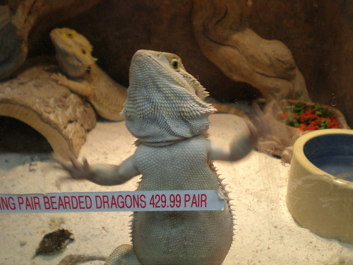 Bearded Dragon Wants Out
