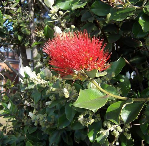 Melaleuca flower