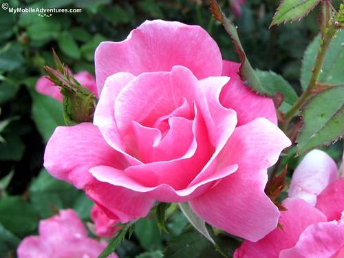 IMG_3487-WDW-EPCOT-rose-walk