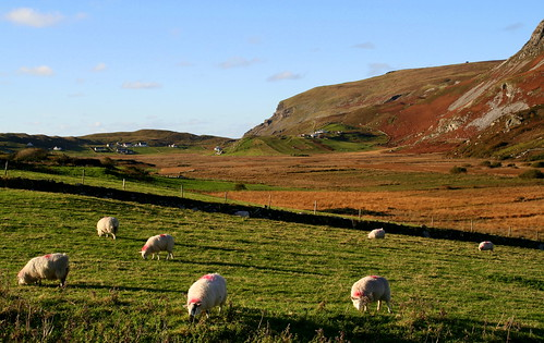 sheep on the autumn hills  glencolumbkille  donegal  ireland