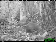 Central American Agouti (siwild) Tags: bci centralamericanagouti dasyproctapunctata rodentsandrabbits taxonomy:group=rodentsandrabbits sequence:index=97 siwild:study=fruitingpalmtrees siwild:studyId=panapalm file:name=img1472jpg siwild:Rank=0 geo:locality=panama taxonomy:species=dasyproctapunctata taxonomy:common=centralamericanagouti sequence:length=120 siwild:plot=50 sequence:id=28170 siwild:trigger=57274 siwild:imageid=557392 file:path=dpicsrunsastromammalsvfem1terrestrial4img1472jpg siwild:location=1834 siwild:camDeploy=1312 siwild:date=200906070711000 siwild:region=panama sequence:key=60 siwild:species=119 geo:lon=9167303 geo:lat=79841214 BR:batch=sla0620110103051555