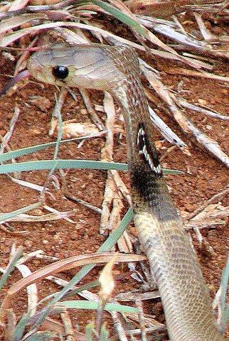 Baby Spectacled Cobra Side Pose 1 July 07 Valley School Area off Kanakapura Road