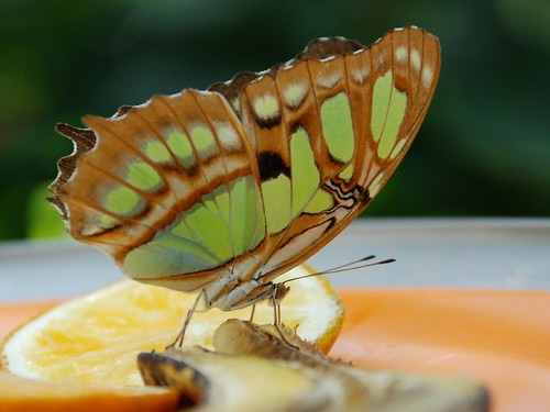 Green Butterfly eating a banana