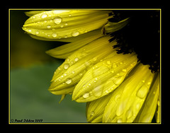Sunflower Droplets (Paul Iddon) Tags: macro nature yellow closeup droplets colours sunflower oa excellence naturesfinest iddon mywinners abigfave aplusphoto irresistiblebeauty wowiekazowie superhearts brillianteyejewel peopleschoicerecovery bestthebest sigma105mmexdgmacrolens themacrogroup thegardenofzen weirenasfaves