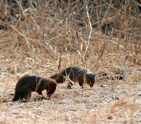 pygmy mongoose