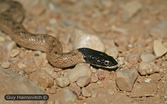 False Smooth Snake (Macroprotodon cucullatus) נחש כיפה