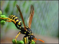 Paper Wasp (blonde_sage) Tags: macro wasp paperwasp vespidae buzznbugz umbrellawasps