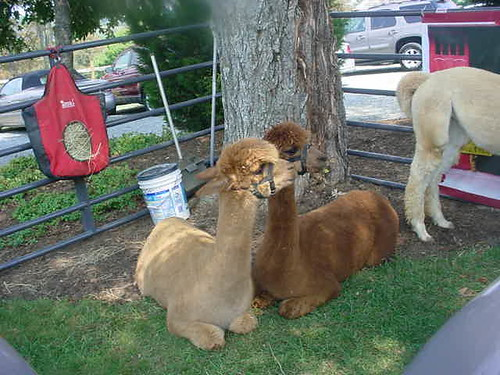 Alpacas at Chateau Morrisette
