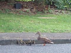 duck rescue 7