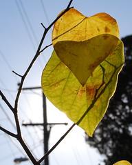 Heart in Leaves (arohilla) Tags: sun leaves berkeley heart overlay veins electricalpost