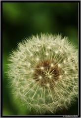 autumn feelings.... (G.Hotz Photography (busy as a bee =)) Tags: autumn flower macro nature austria sony herbst natur bregenz 100 alpha blume makro 2007 ih lwenzahn vorarlberg naturesfinest top20flowers platinumphoto aplusphoto theunforgettablepictures macromix flickrgolfclub ondarena