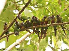 Maroon-faced Parakeet - Pyrrhura leucotis