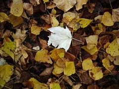 IMGP6554 (gzammarchi) Tags: italia natura foglia montagna paesaggio monocrome castiglioncello tavolozza camminata itinerario moraduccio firenzuolafi