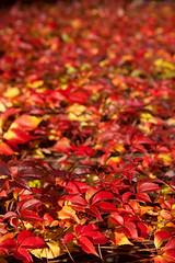 Fall Foliage (gordeau) Tags: red fall leaves yellow colours dof ivy foliage gordon ashby flickrchallengegroup flickrchallengewinner thechallengefactory thepinnaclehof gordeau tphofweek216