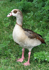 Egyptian goose (boubou1) Tags: bird duck fowl egyptiangoose naturesfinest alopochenaegyptiacus supershot mywinners anawesomeshot avianexcellence