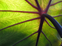 Black Magic... (losy) Tags: macro green leave closeup leaf bravo vein veins 500views elephantear naturesfinest blackmagic colocasiaesculenta blueribbonwinner 35faves mywinner abigfave losy abigfive anawesomeshot ultimateshot goldenphotographer megashot lunarvillage thegoldenphotographer