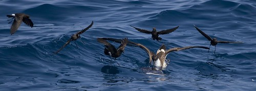 Greater Shearwater with Storm-Petrels
