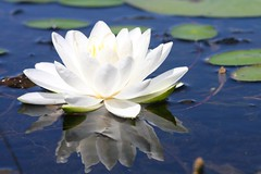 Lily Reflection (unendingwonder) Tags: blue white lake flower reflection green floral pond flora waterlily lily lotus