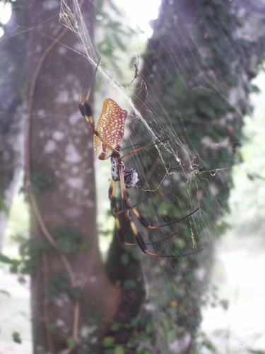Golden Silk Spider Couple 1