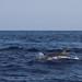 Golfinho-pintado (Stenella frontalis)