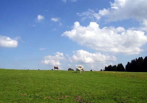 Cows doting the horizon