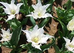 floriade 5 (dominotic) Tags: sunlight white plant flower nature australia canberra act floriade australiancapitalterritory