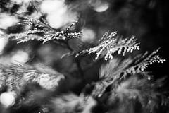 Moon Drops (belleshaw) Tags: blackandwhite tree nature dewdrops bokeh needles 50mmf18 idyllwildca