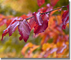 Fall... in love (Fil.ippo) Tags: autumn red fall leaves foglie raw autunno rosso filippo d5000