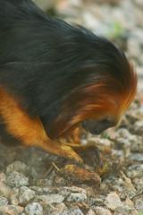 Mico-Leão-de-Cara-Dourada (MariannaBarreto) Tags: micoleãodecaradourada zoológicoquinzinhodebarrossorocabasãopaulospbrasilbrazilzooanimaisanimalsmariannabarretombphotographiesmarytyler87