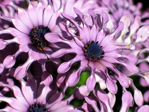 African Daisies I