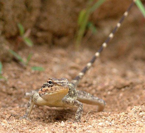 Un id lizard