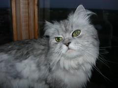 Marcello.  The sad cat (akk_rus) Tags: pet cats pets nature animal animals cat persian chats nikon feline chat coolpix marcello 7900 кошка кот кошки e7900