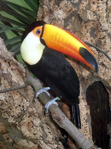 Tucanes, unas de las mas bellas aves que existen