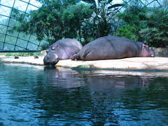 Hippo at Berlin Zoo