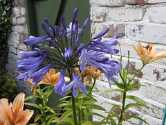 Agapanthus after thunder and rain (ukmaggie45) Tags: blue flower agapanthus