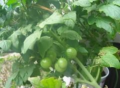Tiny Tim Tomato Plants