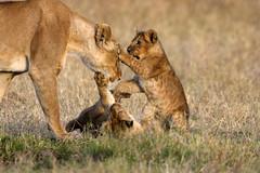 We want to play (Lyndon Firman) Tags: africa canon eos cub kenya lion safari 1d bbc marsh cubs lioness tamu masaimara photooftheday blueribbonwinner parkstock specanimal animalkingdomelite bigcatdiary bigcatweek impressedbeauty marshpride bilashaka naturesbabies naturesexquisite 19jul2007