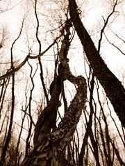 Tree vnea (KT-PHOTO.CO) Tags: tree forest vine winding
