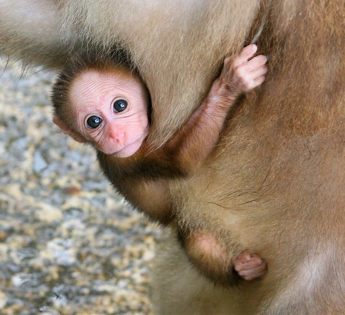 Baby monkey holding on