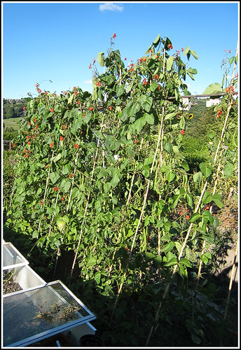 Scarlet Emperor Beans copy