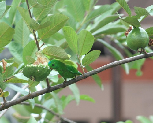 Blue Crowned Hanging Parrot 1