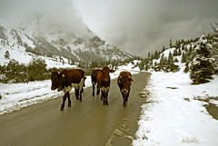 Cows in snow (dellafels) Tags: alps austria cows searchthebest takeabow instantfave dellafelspic kolmsaigurn mywinners anawesomeshot impressedbeauty