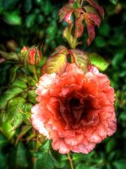 Rose01.tif