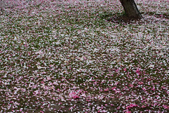 (hsalnat) Tags: china park abstract flower nature garden nc spring wuxi    liyuan   peachflower