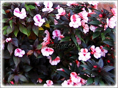 A pink variety of Impatiens walleriana (Touch-me-not, Jewel Weed, Sultana, Busy Lizzy/Lizzie) - bicolored pink flowers