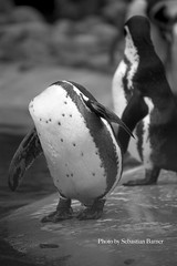The Headless Penguin (Sebastian B.B.) Tags: trip autumn shadow portrait blackandwhite bw white black bird art fall water birds animal animals headless geotagged photography penguin penguins photo blackwhite eyes nikon europe exposure raw day photos head bigma background feathers feather sigma os apo gone 500mm along balancing dg acrobatic naturallighting 50500mm hsm d700 f4563 4563