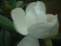 Magnolia unfurling in the rain