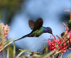 Beija-flor Tesoura (Eupetomena macroura) - Swallow-tailed-Hummingbird 25 10-06-07 123 - 9