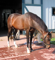 Cigar Kentucky Horse Park (Just chaos) Tags: from horse view you photos or cigar top20horsepix everyone ungulate racehorse thoroughbred animalia mammalia equus domesticated equidae equuscaballus chordata perissodactyla oddtoed oddtoedungulate xisforxcelentxracehorse caballusx